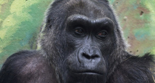121217.oldest-gorilla-ap.jpg