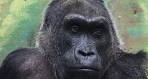 121217.oldest-gorilla-ap.jpg
