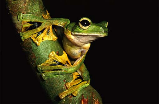 120904.wallaces-flying-frog.jpg