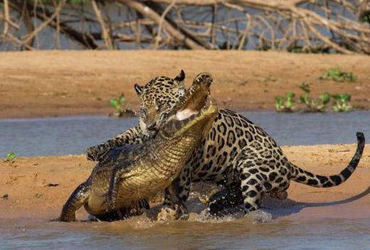 130918.jaguar-caiman.jpg
