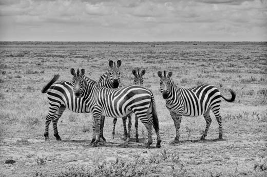 140403.zebra.jpg