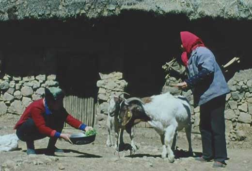 china21.sheep2.JPG
